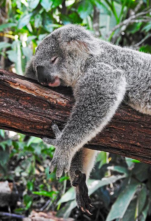 koala qui dort sommeil réparateur